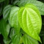 Manfaat daun sirih untuk gigi dan gusi